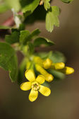 Flowers of a currant — Stock Photo