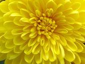 Flowers of chrysanthemums — Stock Photo