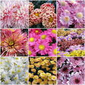 Collage of chrysanthemums from nine photos — Stock Photo