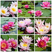 Collage of water lilies from nine photos — Stock Photo