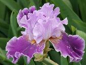 Květ iris — Stock fotografie