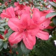 Flower of an azalea. Rhododendron - Stock Photo