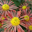Flower of a chrysanthemum - Stock Photo