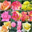 Collage of roses from nine photos — Stock Photo #7835593