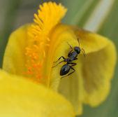 Ant on a petal of an iris — Stock Photo