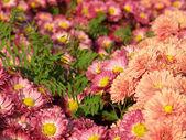 Blomma av en krysantemum — Stockfoto