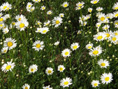 Flowers of a camomile. — Stock Photo