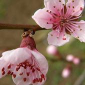 Květy broskve — Stock fotografie