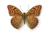 Yellow leopard butterfly isolated on white — Stock Photo