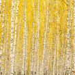 Autumn birch forest — Stock Photo #7003511