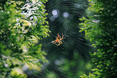 Garden spider (Araneus diadematus). — Stock Photo