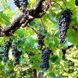 Bunches of black grapes with green leaves — Stock Photo