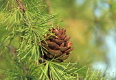 Larch cone — Stockfoto