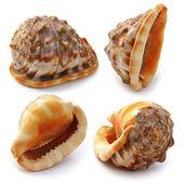 Set van zee schelp — Stockfoto