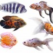 Stock Photo: Aquarium fish