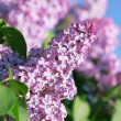 Lilac on blur background — Stock Photo