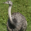 Nandu, Rhea Americana - Stock Photo