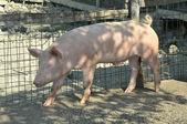 Young pig at his farm — Стоковое фото