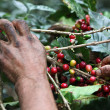 Stock Photo: Picking coffee beans