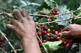 Picking coffee beans — Stock Photo