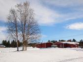Birken in lappland — Stockfoto