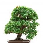 Punica Granatum bonsai tree — Stock Photo