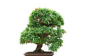Punica Granatum bonsai tree — Stock Photo