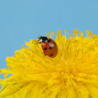 Stock Photo: Ladybird on dandelion
