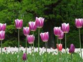 тюльпаны в парке — Стоковое фото