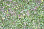 绿色的树叶上墙背景 — 图库照片
