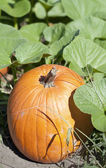 Autumn Fall Halloween Pumpkin Patch — Stock Photo