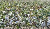 綿花畑 — ストック写真
