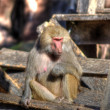 Zoo Monkey — Stock Photo