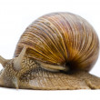 Helix pomatia. Big Roman snail on a white background. — Stock Photo
