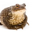 Stock Photo: Bufo bufo. Common (European) toad on white background.