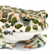 Bufo viridis. Green toad on white background. — ストック写真