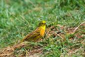 Yellowhammer (Emberiza citrinella) on a grass — Stock Photo