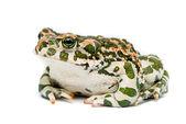 Bufo viridis. groene pad op witte achtergrond. — Stockfoto