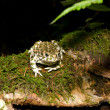 Bufo viridis. Green toad on nature background. — 图库照片