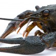Astacus leptodactylus. Narrow-clawed crayfish on white backgroun — Foto Stock