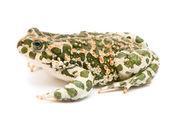 Bufo viridis. sapo verde sobre fondo blanco. — Foto de Stock
