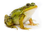 Rana esculenta. Green (European or water) frog on white backgrou — Stockfoto