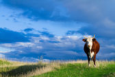 A cow grazes in a meadow. — Stock Photo