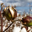 Cotton Bolls — Stock Photo