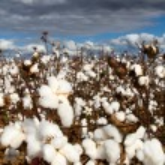 Cotton Field — Stock Photo #7583353