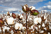 Cotton Bolls Field — Stock Photo