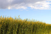 Industrial Hemp Plant Field — Stock Photo