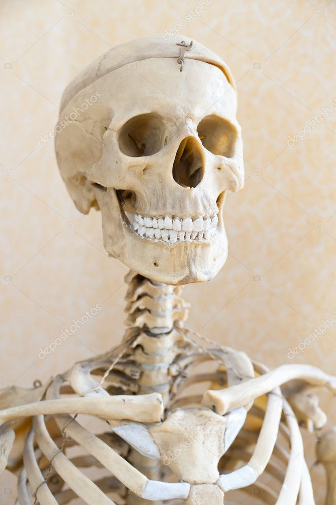 A fake human skeleton, a head shot  Stock Photo #7722829