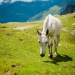 White horse on mountain pasture — Stock Photo