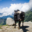 Black cow on mountain pasture — Stock Photo
